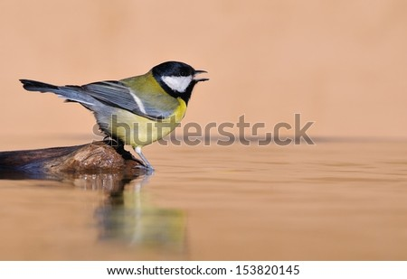 Great tit at sunset on brown background. - stock photo