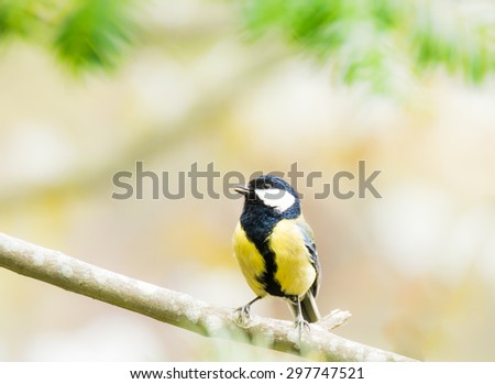 Great Tit bird (parus major) sitting on a tree branch - stock photo
