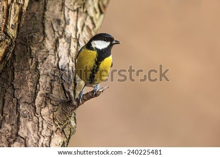 great tit climbs a tree - stock photo