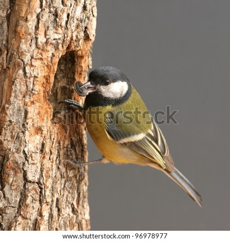 Great tit, in front of nest-hole, with seed in bill - stock photo