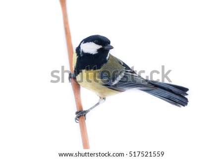 Great Tit in front of white background, isolated. (Parus major).