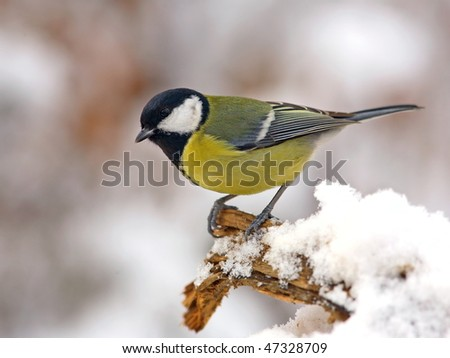 Great tit in snow - stock photo