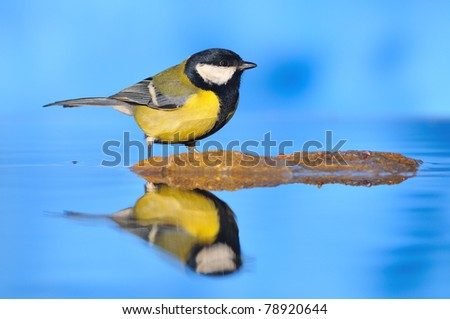 Great Tit in the pond. - stock photo