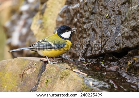 great tit looking for water - stock photo