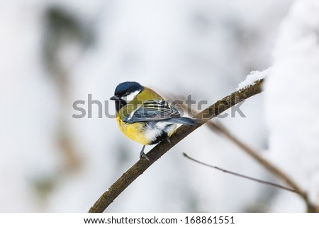 Great tit on a branch in winter forest - stock photo