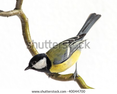 great tit on a branch, looking down, on white - stock photo