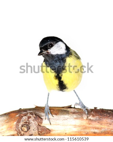 great tit on a dead branch, on white - stock photo