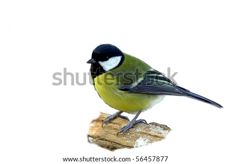 Great tit on a snowy branch, isolated - stock photo