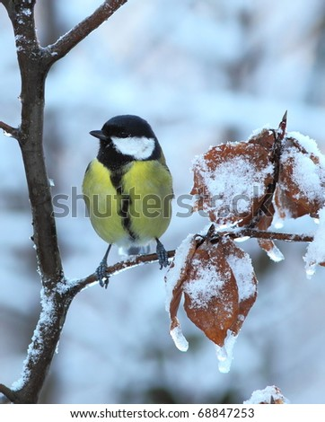Great tit on a snowy, icy branch - stock photo