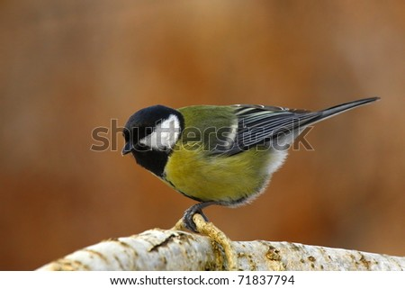 Great tit on a thick branch - stock photo