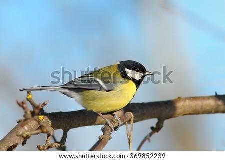 great tit on branch, side view, garden bird ( Parus major ) - stock photo