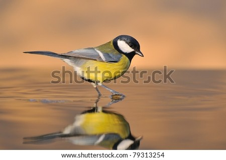 Great Tit on water. - stock photo