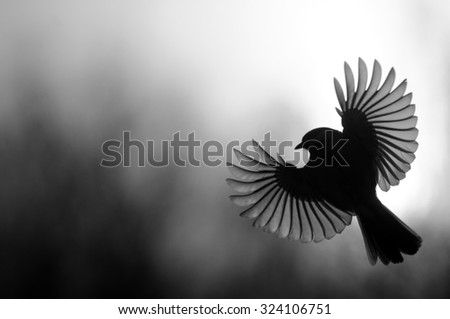 Great Tit (Parus majo) silhouette in flight with open wings - stock photo