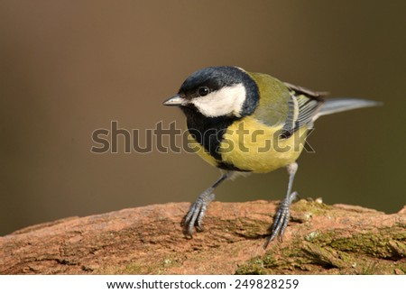 Great tit (Parus major) - stock photo