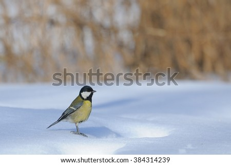Great Tit (Parus major) at the snowdrift. Moscow region, Russia - stock photo