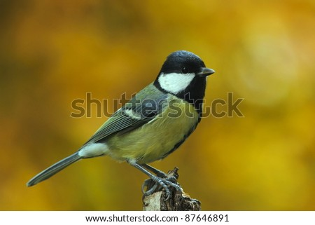 Great tit (Parus major) in autumn - stock photo