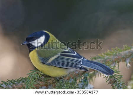 Great tit (Parus major) is a passerine bird in the tit family Paridae. - stock photo