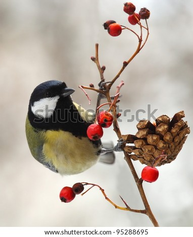 Great tit (Parus major) on a berried branch - stock photo