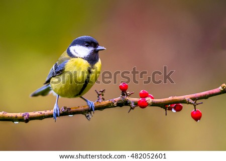 Great tit (parus major) on a branch of Common holly (Ilex aquifolium) with red berries in november with autumn colors background as a concept for fall