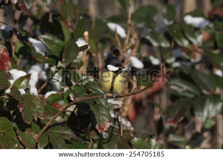 Great Tit (Parus major) on a branch of wild rose - winter - stock photo