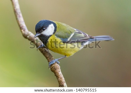 Great Tit, Parus major on a branch. Shallow depth of field and bakground blurred