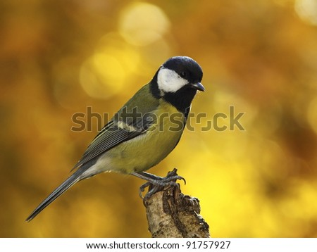 Great tit (Parus major) on a dry tree stump - stock photo