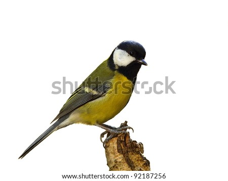 Great tit (Parus major) on a dry tree stump, isolated - stock photo