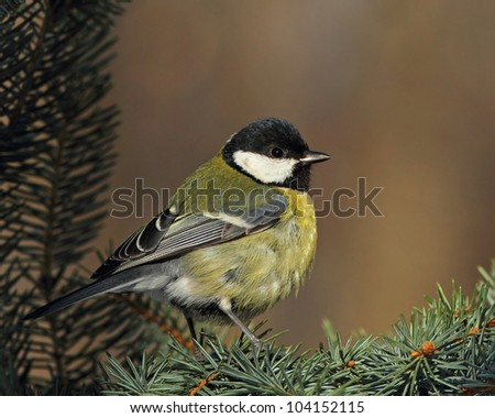 Great tit (Parus major) on a sunny fir branch 2. - stock photo