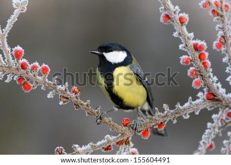 Great tit Parus major, On berries in frost, Midlands, winter                    - stock photo