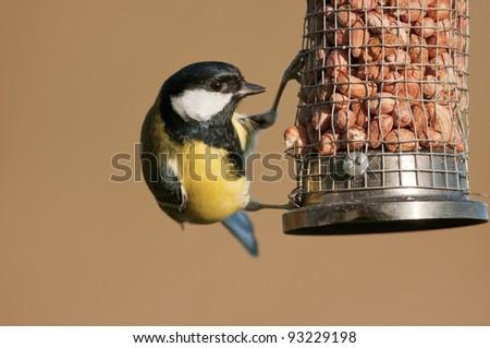 Great tit (Parus major) on peanut feeder - stock photo