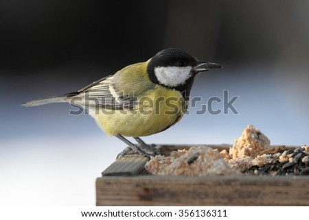 Great Tit (Parus major) on the feeder. - stock photo