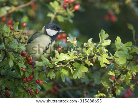 Great Tit (Parus major) perched in a hawthorn hedge