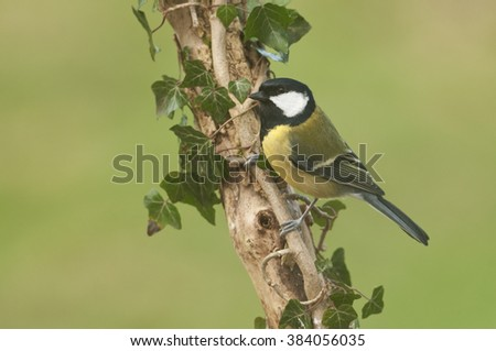 Great Tit (Parus Major) perched on ivy covered branch