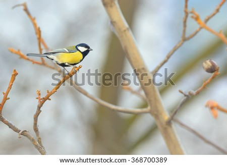 Great Tit (Parus major) resting on a branch - stock photo