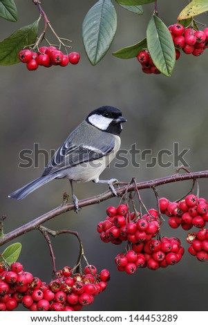 Great tit, Parus major, single bird on branch of red berries, Midlands, December 2011