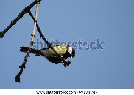 Great Tit (Parus major) sitting on a branch.