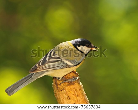 Great tit (Parus major) VI. - stock photo