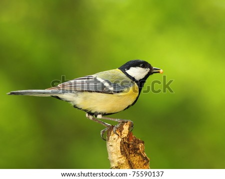Great tit (Parus major) with a prey in beak - stock photo