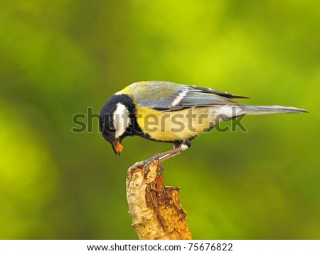 Great tit (Parus major) with a prey in beak II. - stock photo