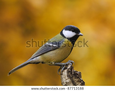 Great tit (Parus major) with colorful background - stock photo