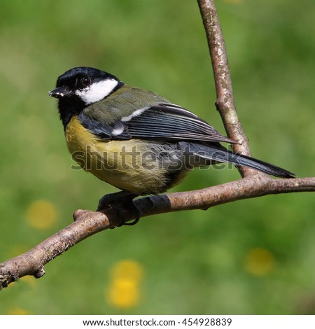 Great tit, perched on a bare branch on a sunny day - stock photo