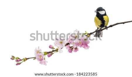 great tit perched on a flowering branch, Parus major, isolated on white - stock photo