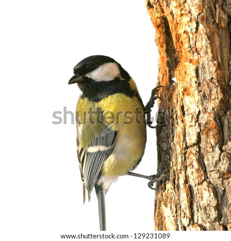 Great tit perched on wood, in front of hole, isolated on white - stock photo