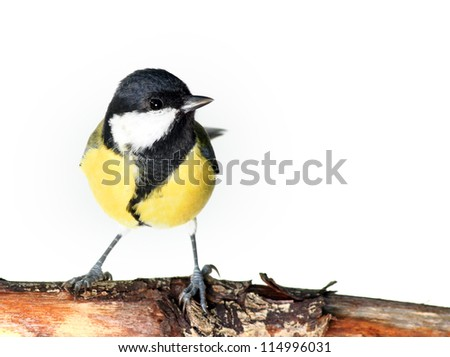 great tit perching on a branch, against a white background - stock photo