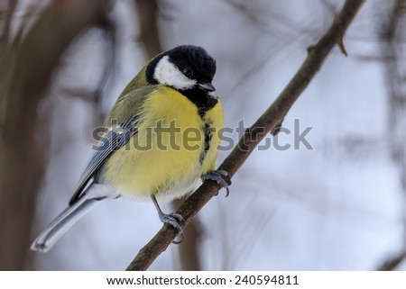great tit sitting on snowy branch - stock photo