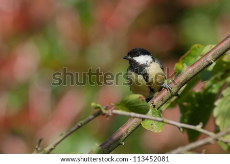 Great tit sitting with beautiful background