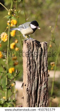 Great Tit small garden song bird with black head perched on post with suet bird food in beak. - stock photo