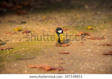 Great tit standing on the ground in the park - stock photo