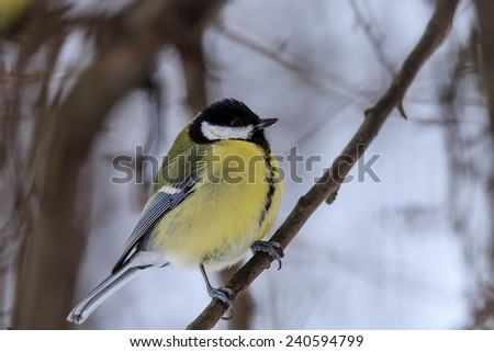 great tit with first snow - stock photo