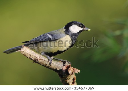 great tit with larva